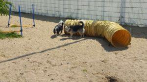 hunde beim spielen auf dem grossen gelaende der hundebetreuung dogs place in neuss