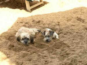 hunde liegen im sand verbuddelt bei der hundebetreuung von dogs place in koeln