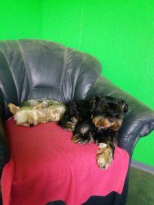 kleine hunde liegen gemuetlich auf einer roten decke auf einem sessel