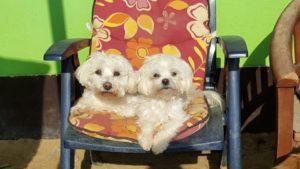kleine weisse hunde liegen auf einem gartenstuhl