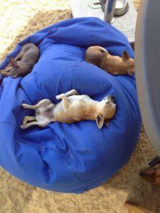 chihuahuas schlafen auf blauem sitzsack bei der hundebetreuung dogs place