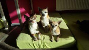 kleine chihuahua auf gruener matratze schauen neugierig in die kamera
