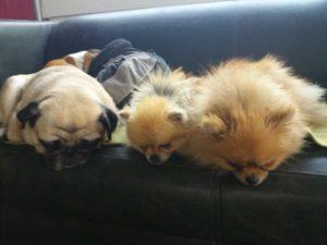 kleine hunde liegen auf der couch und starren runter auf den boden