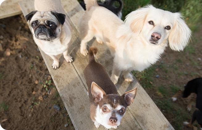 kleine hunde starren in die kamera und stehen auf einem holzbrett