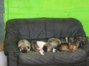 hunde schlafen auf schwarzer couch bei der hundebetreuung dogs place in koeln