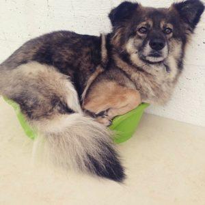 grosser hund sitzt in winzigem hundekorb und schaut verwundert bei der hundebetreuung dogs place in koeln