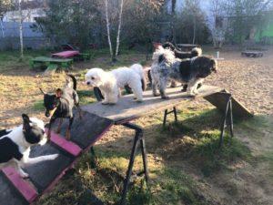 gruppe von hunden beim spielen auf holzrampe bei dogs place in koeln