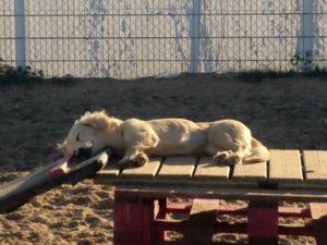 hund schlaeft und geniesst die sonne auf einer holzpalette auf dem gelaende von dogs place in neuss