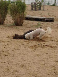 hunde beim buddeln auf dem spielgelaende von dogs place in neuss