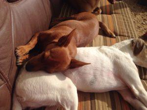 hunde beim schlafen auf einer couch nutzen sich selbst als kopfkissen