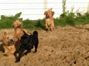 hunde beim spielen bei der hundebetreuung von dogs place