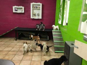 hunde beim spielen im innenbereich der hundebetreuung von dogs place in koeln
