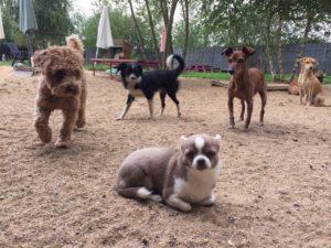 hunde beim spielen und toben bei der hundebetreuung von dogs place in koeln
