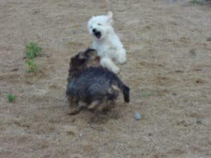 hunde beim toben bei der hundebetreuung dogs place in neuss
