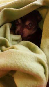 kleiner chihuahua versteckt sich in einer decke