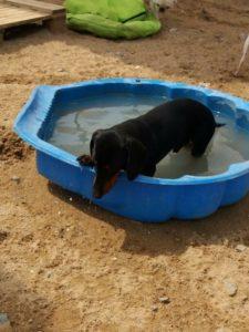 kleiner dachshund klettert aus blauem pool heraus bei dogs place in neuss
