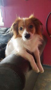 kleiner hund liegt auf der couch und schaut neugierig