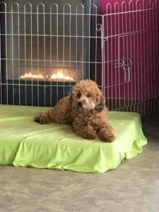 kleiner hund liegt auf gruener matratze und schaut neugierig