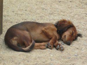 kleiner hund schlaeft auf dem sandboden bei dogs place in koeln