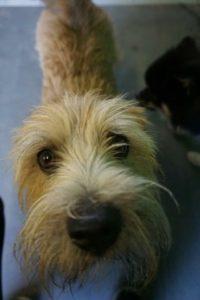 kleiner hund starrt neugierig in die kamera