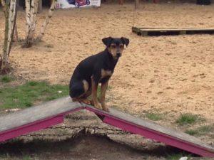 kleiner schwarzer hund sitzt auf einer holzrampe auf dem gelaende von dogs place