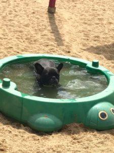 kleiner schwarzer mops beim baden in der sonne bei dogs place in koeln