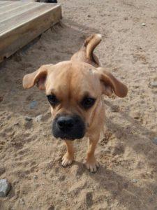 kleiner suesser hund schaut neugierig auf dem spielgelaende von dogs place