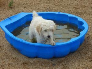 kleiner weisser hund in kleinem blauen schwimmbecken bei dogs place in neuss